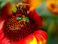 """Metallic Green Bee"" by Richard Kolar"